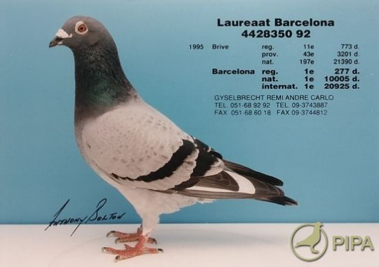 """Laureat Barcelona""- that won the 1st place at the Internaltional Race Barcelona , 1995; from 20, 925 doves ; for Fam Gyselbrecht"